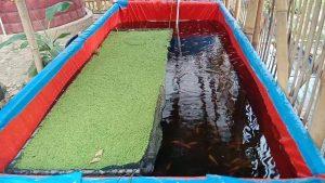 Cara Budidaya Ikan Nila di Kolam Terpal agar Cepat Besar dan Sehat