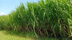 Rumput Odot Sebagai Pakan Alternatif Untuk Ternak